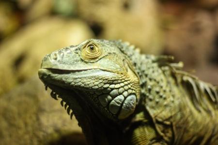 lizard in field: Lagarto verde vista de cerca, la profundidad de campo