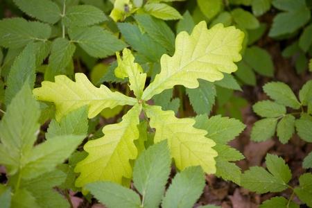 Young oak grow in green grass under sunlight