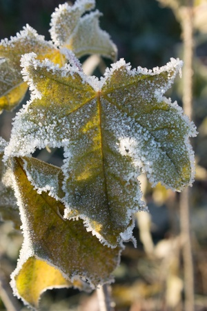 Green frozen grape leaf under sunlight closeup view photo