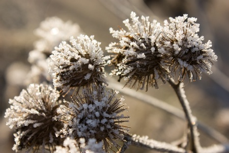 Frozen bur under sunlight closeup view photo