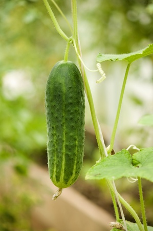 Fresh green cucumber growing in the garden photo