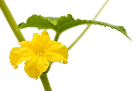 Cucumber flower isolated on while background Stock Photo