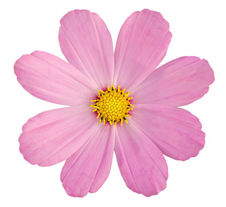 Pink daisy isolated on while background
