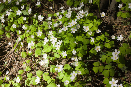 Oxalis flowers under sunlight in the forest photo