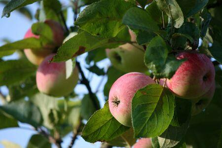 Apple harvest. Ripe apples on the apple tree under sun light