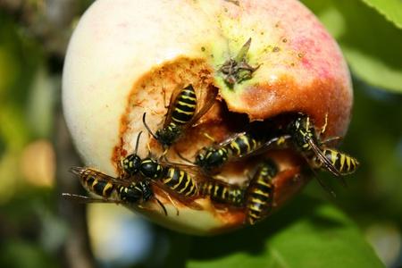 invasion: L'invasion des gu�pes sur la r�colte de pommes. Essaim de gu�pes attaque pommiers et manger la pomme m�re Banque d'images