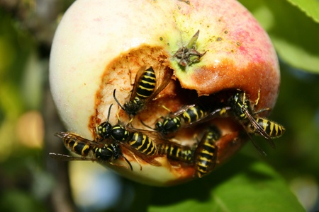 chomp: The invasion of wasps on the harvest of apples. Swarm of wasps attack apple trees and eat ripe apple Stock Photo