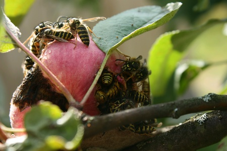 The invasion of wasps on the harvest of apples. Swarm of wasps attack apple trees and eat ripe apple Stock Photo
