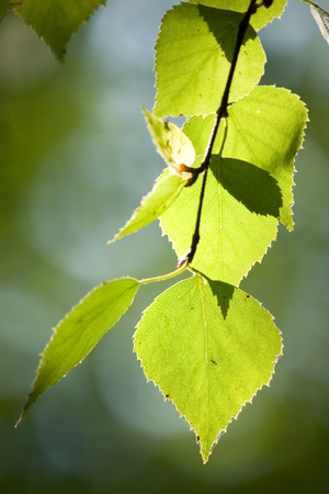 Green birch leaves on the birch branch under the sunlight closeup view photo