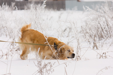 A beautiful Golden Retriever dog running, walking and playing outside in white snow photo