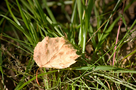 Dry birch leaf lying on green grass under the summer sun light
