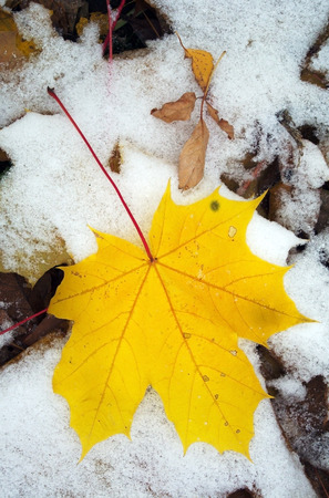 Yellow autumn maple leaf on the first snow close-up view photo