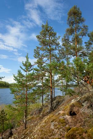Pine tree under sunset light on the Ladoga lake shore natural landscape photo