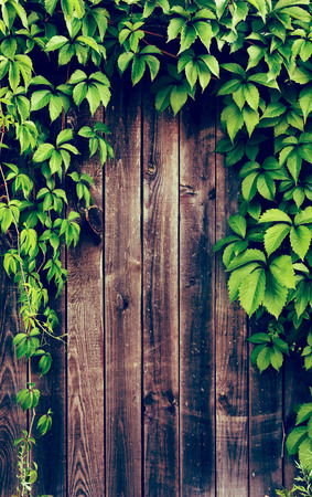 ivy wall: Wooden fence covered in natural ivy vines frame.