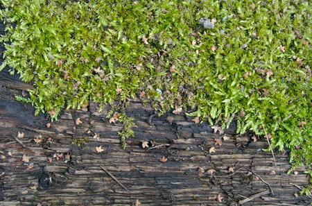putrid: Moss on old wood, natural background