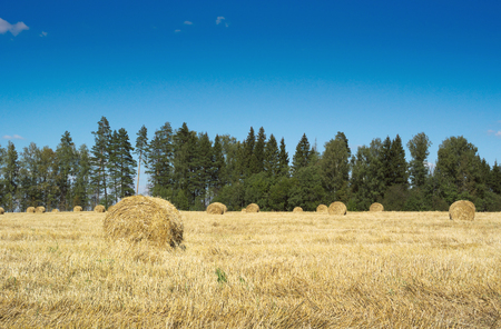 hayrick: Field with haystacks and green trees near the forest under blue sky with white clouds under sunlight