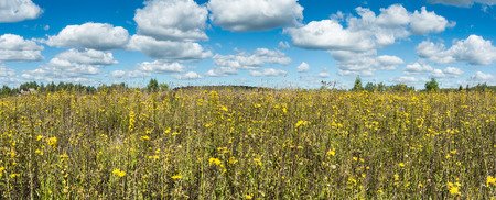yellow wildflowers: Summer natural agricultural field panoramic landscape: beautiful meadow with yellow wildflowers under summer blue sky with white clouds under bright summer sunlight near village panorama landscape