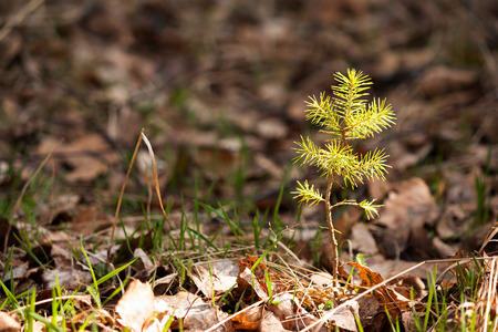 Lonely young pine sapling tree sprout in spring forest under sunlight under closeup view Stockfoto
