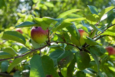 Apples grows on branch among the green foliage in apple fruit garden under sunlight, harvesting season in orchard, close-up view. 版權商用圖片