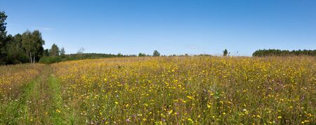 Summer natural agricultural field landscape - beautiful meadow with grass and yellow wildflowers and country road under clear summer blue sky under bright summer sunlight panoramic landscape.