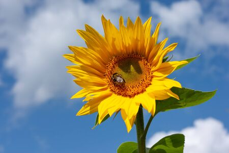 Beautiful bright yellow sunflower with bumblebee under the summer blue sky with clouds under bright sunlight whith yellow petals and green leaves close-up view