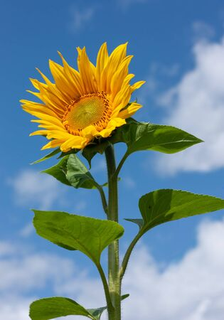 Beautiful bright yellow sunflower under the summer blue sky with clouds under bright sunlight whith yellow petals and green leaves close-up view 版權商用圖片