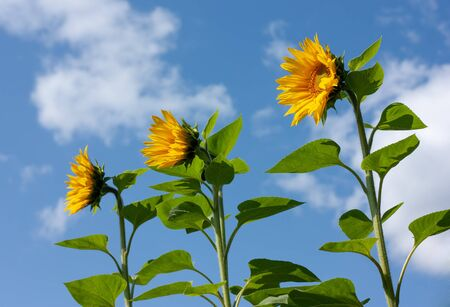 Beautiful bright yellow sunflowers under the summer blue sky with clouds under bright sunlight whith yellow petals and green leaves