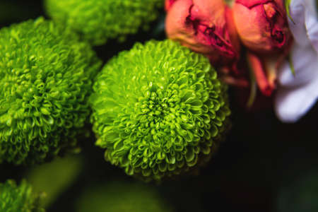 chrysanthemum bushy Feeling Green. very close-up macro shot. Stock Photo
