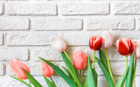 bunch of red tulip flowers on white brick background. Color of the year 2019 living coral Stock Photo