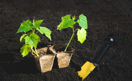 two bush of cucumber and tool on black soil. Gardening or planting concept. Work in a spring garden.