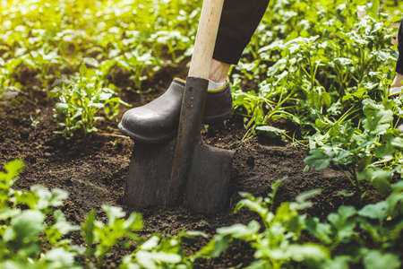 worker digs black soil with a shovel in the garden. spring gardening