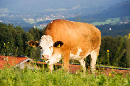 Cow on a pasture in the Alps