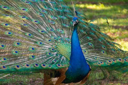 beautiful neck: Peacock head blue beautiful neck