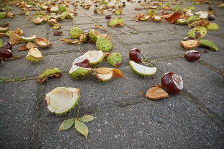 Conkers in open thorny shell on wet dark asphalt floor.