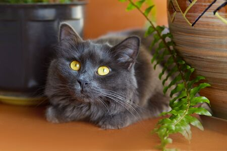 Gray cat Nebelung.Cat on the windowsill at home.