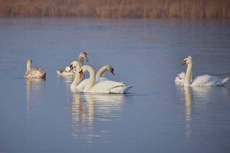 In winter, beautiful swans swim on the ice-free lake. Place of wintering swans, Belarus. Against the background of winter trees..