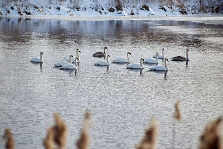 Swans winter on the warm lake near the village Reklamní fotografie