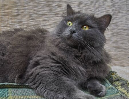 Gray cat Nebelung cat is lying on the sofa at home. Nebelung-a rare breed, similar to the Russian blue, except for medium length, with silky hair. Stock fotó