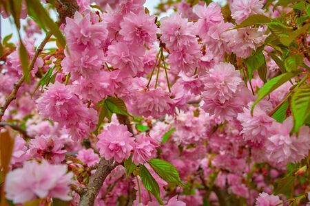 Sakura Flower or Cherry Blossom. Many blooming pink flowers on the branches of the cherry trees. 版權商用圖片