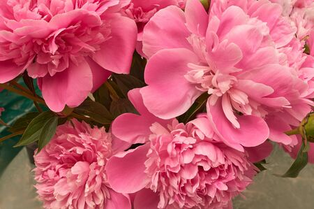 Beautiful flower for any holiday. Elegant bouquet of a lot of peonies of pink color close up