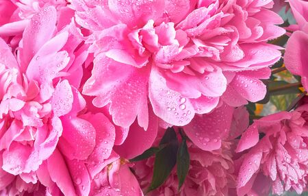Delicate flowers and buds big pink peonies with drops after rain