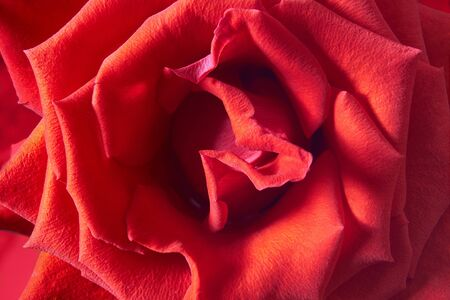 A close up macro shot of a red rose. Love concept.