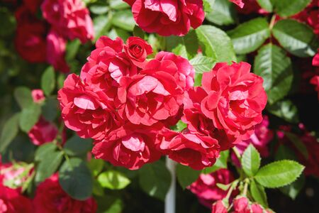 Beautiful blooming soft coral tea roses flowers close up,red rose blossom