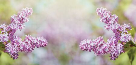 Spring tender branch of lilac on a blurred background, image for wallpaper, spring romatic fresh mood.Beautiful blurred lilac flowers background.Soft focus