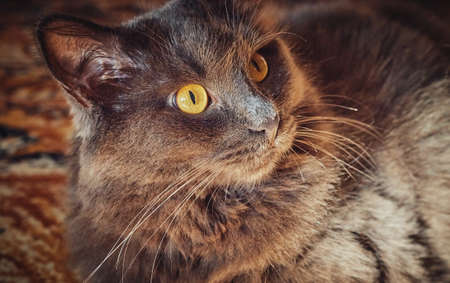 Portrait of a long-haired gray cat Nebelung close-up