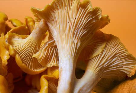 Forest orange chanterelle mushrooms on an orange background.Close-up