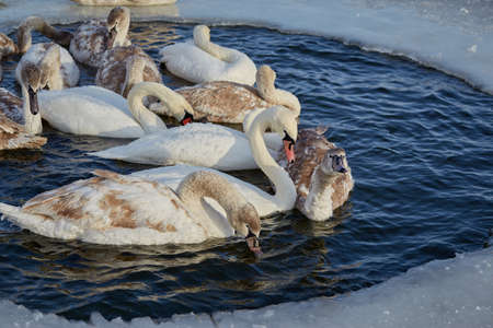 Freezing young swans in the ice of an icy lake. Winter.