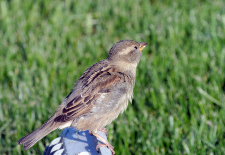 flew: Sparrow sitting on a background of bright green grass