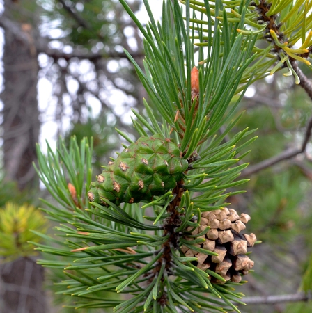 pine needles close up: Wild plants Scandinavia and Kola Peninsula: Young green pine cone next to old last year among pine needles on branch northern pine. Focus on green cone