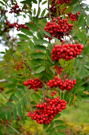 A long branch of a mountain ash (lat., Sorbus) hanging down under the weight of a ripe bunches of red juicy berries. Vertical frame Stock Photo